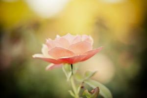 Rose Pixabay
